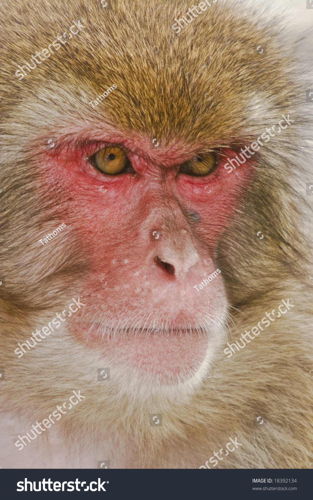stock-photo-japanese-macaque-portrait-18
