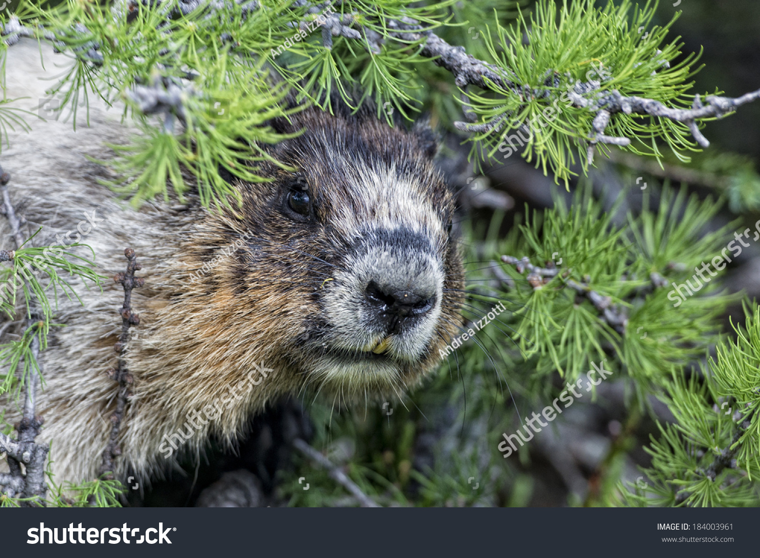 canadian brown white marmot groundhog portrait stock photo