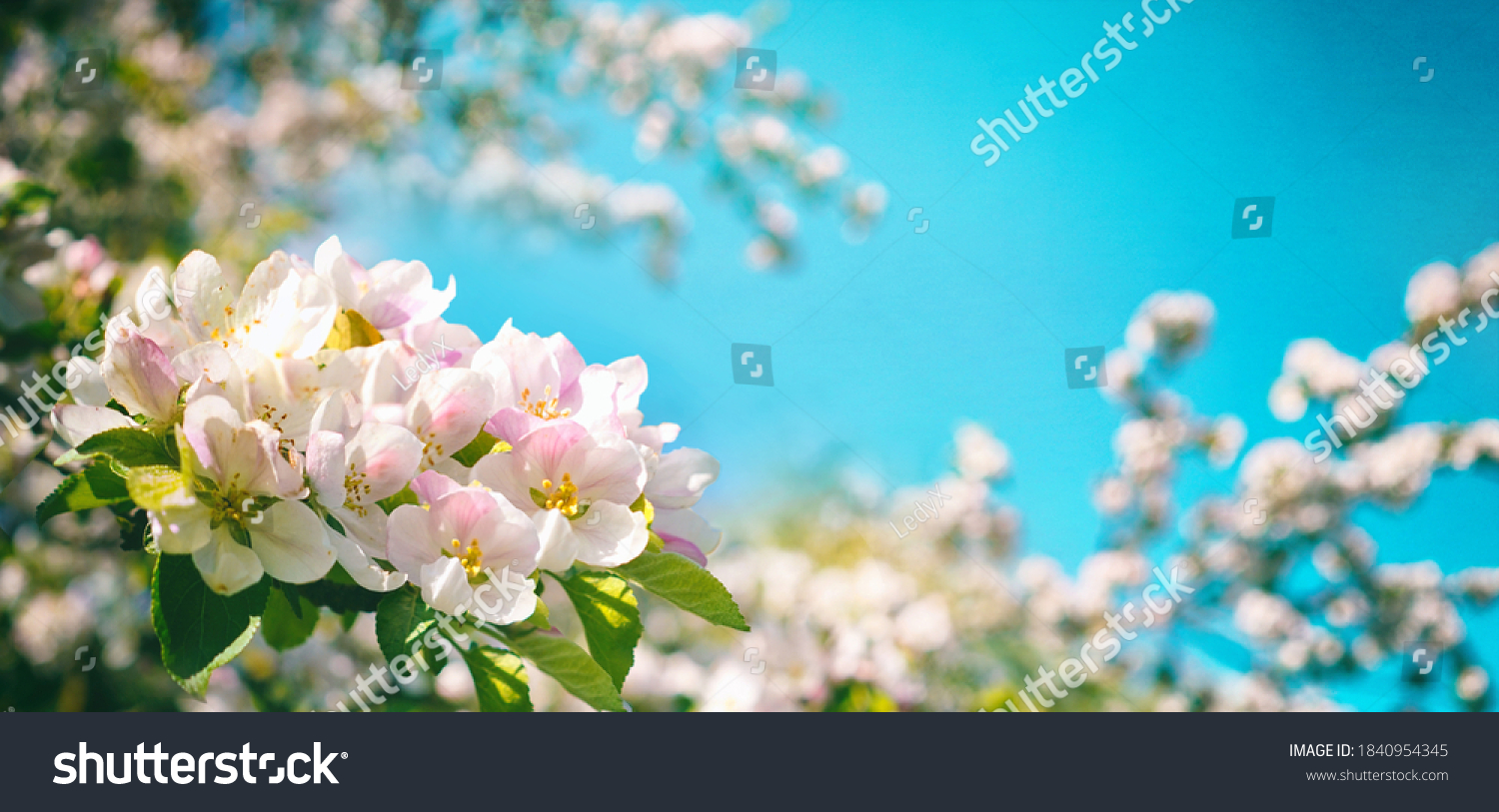 Pink flowers of blooming Apple tree in spring against blue sky on a Sunny day close-up macro in nature outdoors. #1840954345