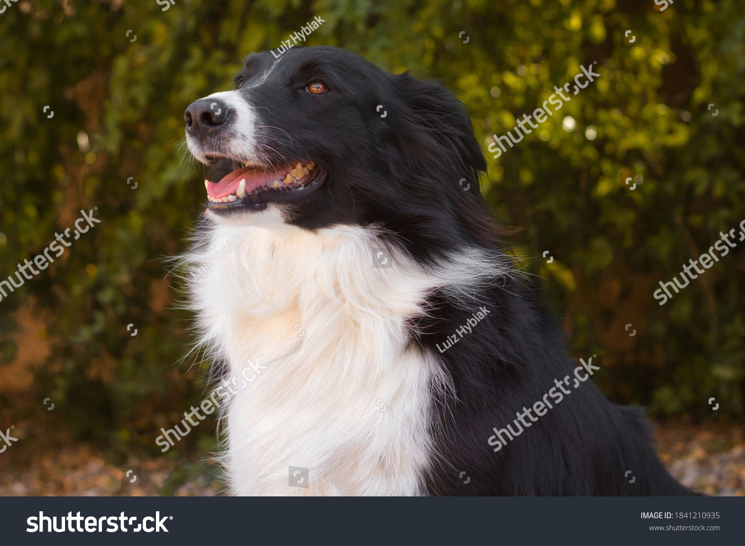 stock-photo-black-and-white-border-collie-with-partially-open-mouth-brown-bright-eyes-blurred-autumn-foliage-1841210935.jpg