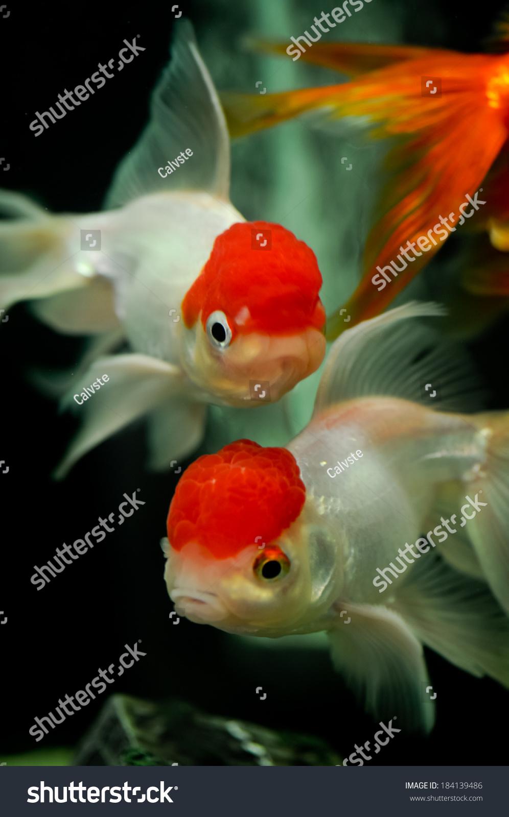 Red Cap Oranda Goldfish Close Fish Stock Photo (Edit Now) 184139486 ...