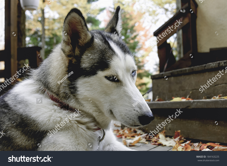 Siberian Husky Quebec Sled Siberian H...