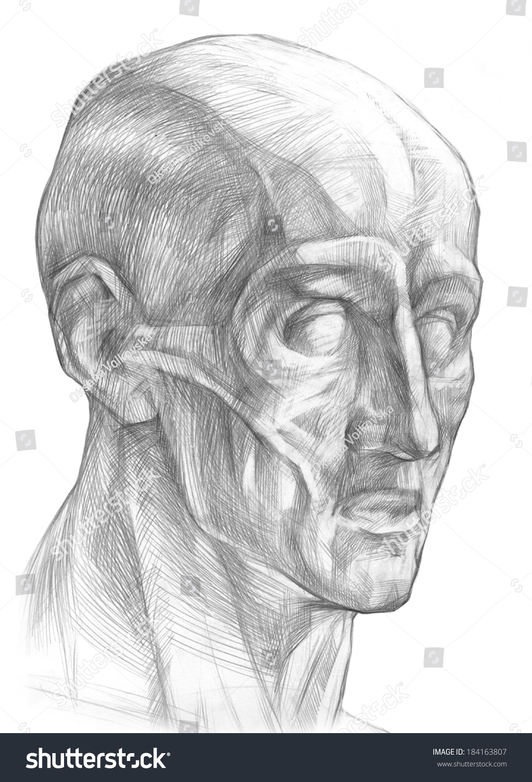 Royalty Free Stock Illustration Of Muscles Human Head Without Skin
