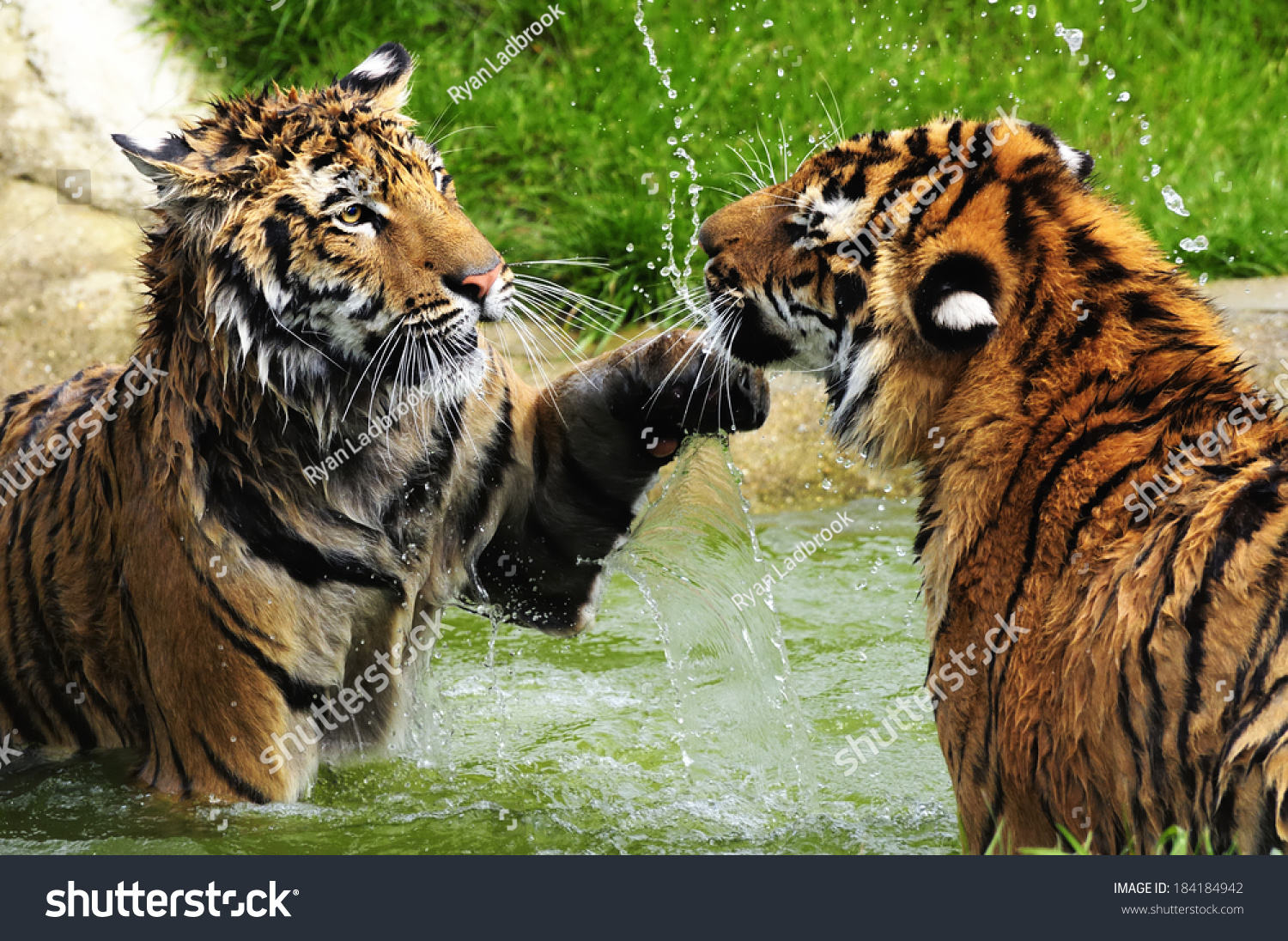 tiger uppercut tigers play fighting pool stock photo & image
