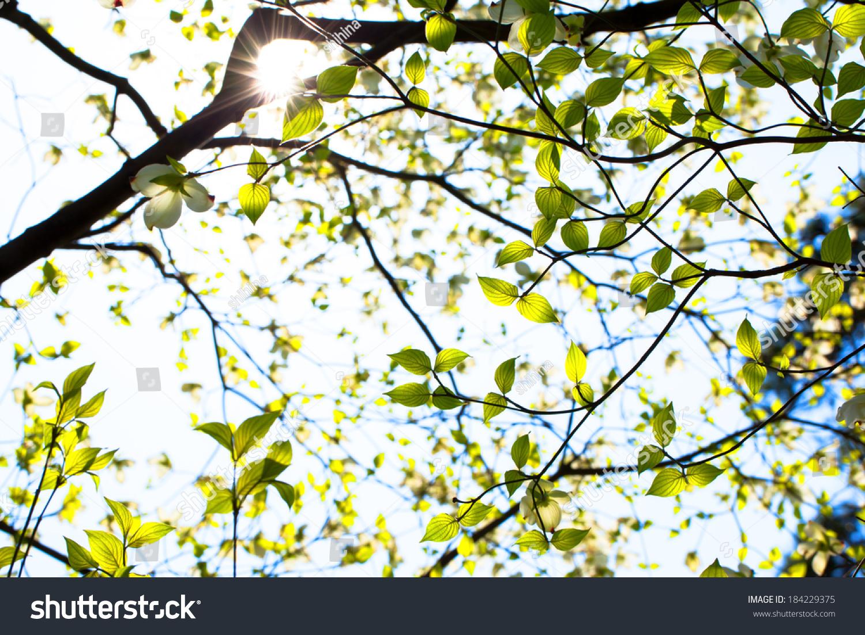 White Flowering Dogwood Tree Cornus Florida Stock Photo Edit Now