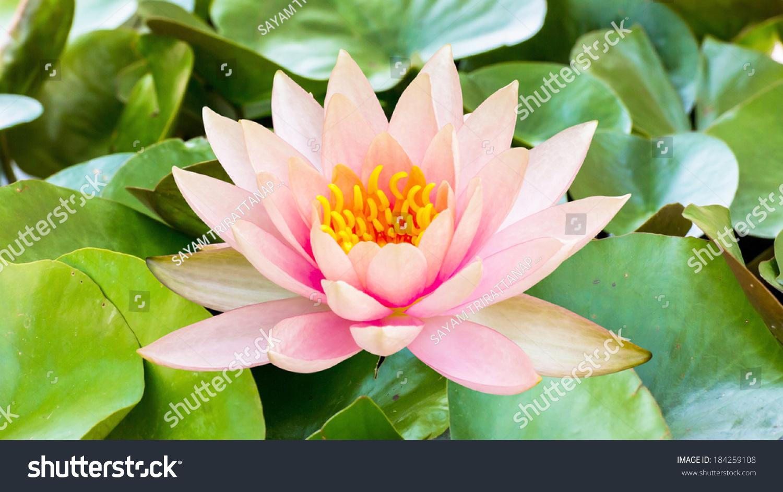 Pink lotus flower pond stock photo royalty free 184259108 pink lotus flower in a pond izmirmasajfo