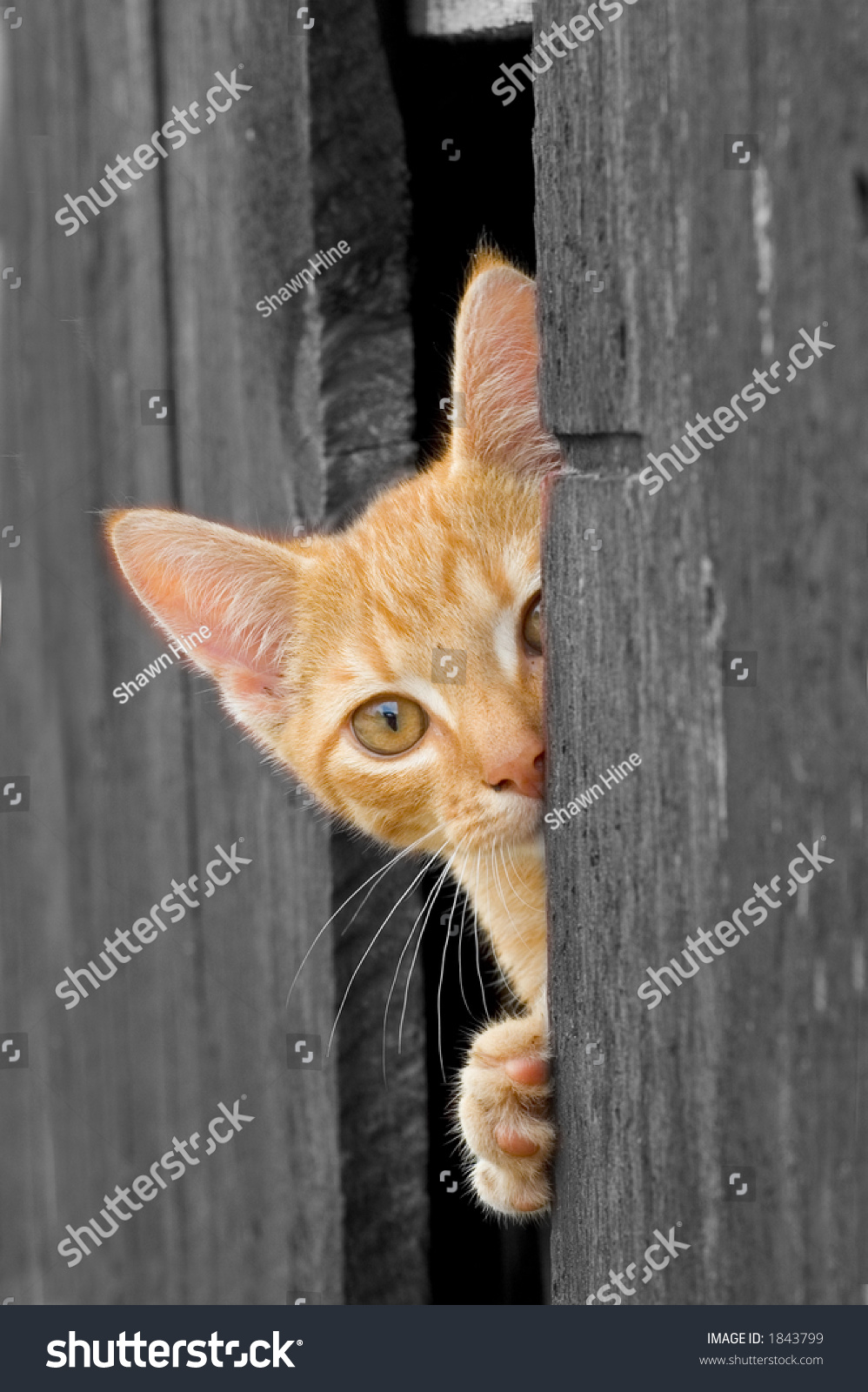 Cat peeking from Barn Door (B\u0026W with cat in color) & Cat Peeking Barn Door Bw Cat Stock Photo 1843799 - Shutterstock Pezcame.Com