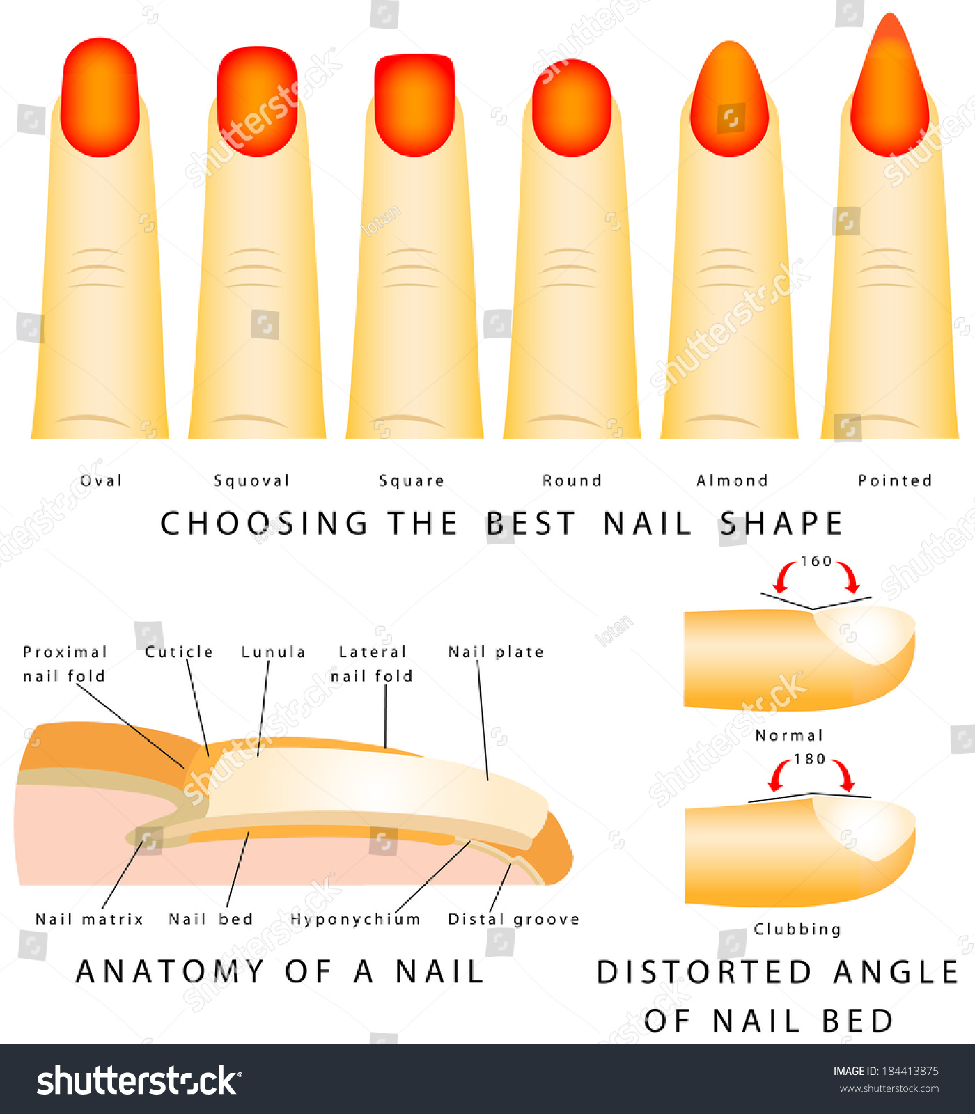 Nail Shape Different Nail Shapes Anatomy Stock Vector