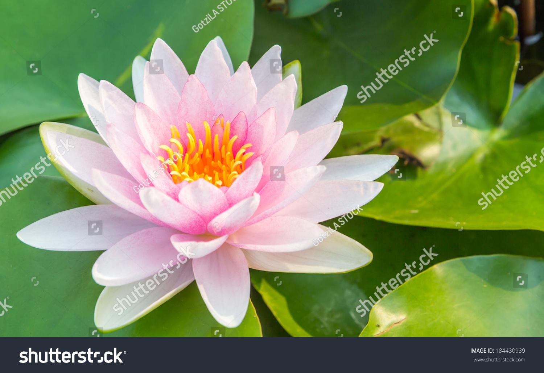 Pink Beautiful Waterlily Or Lotus Flower In Pond Ez Canvas
