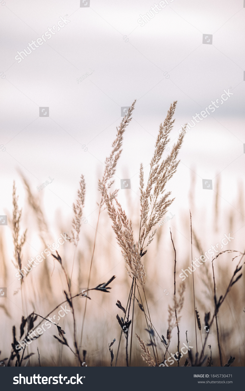 Sunset in the field. Close view of grass stems against dusty sky. Calm and natural background #1845730471