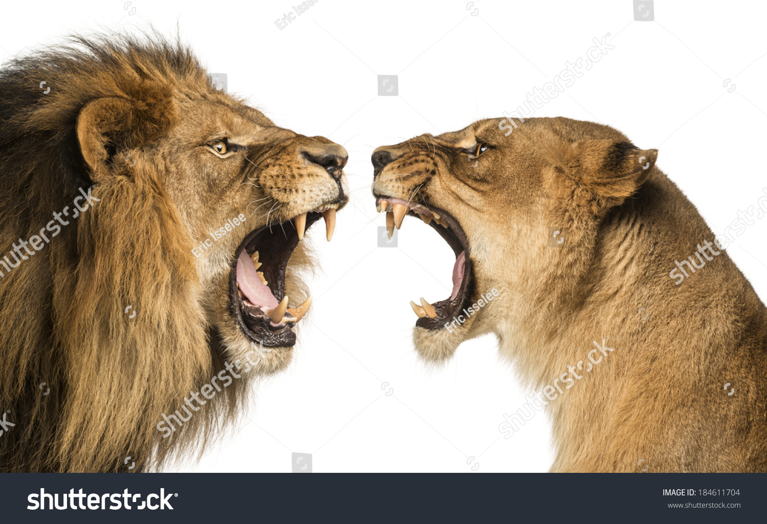 Lioness Growling At Lion Close-up of a lion and lioness roaring at ...