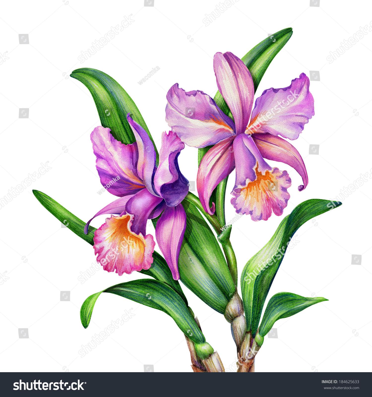 Watercolor Original Painting Pink Purple Cattleya Stock ...