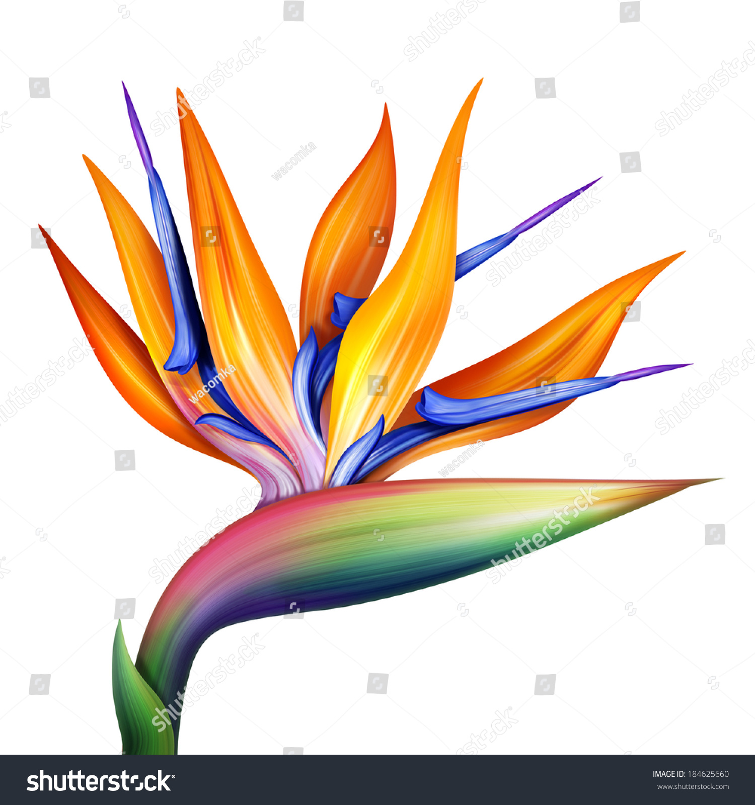 Strelitzia bird paradise flower isolated on stock illustration strelitzia bird of paradise flower isolated on white background botanical illustration mightylinksfo