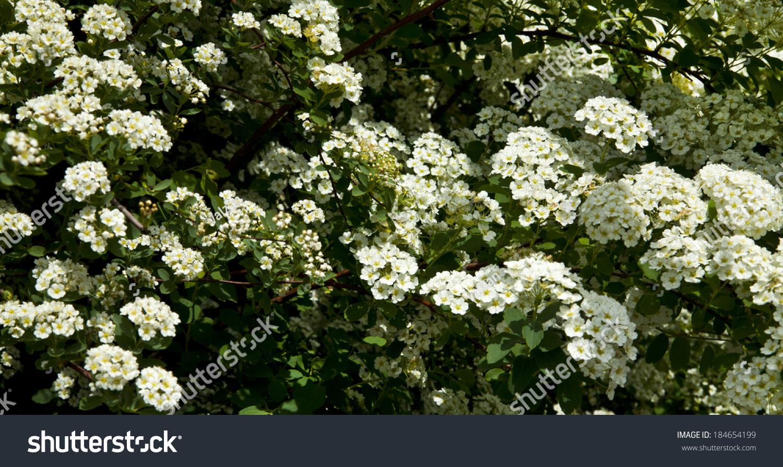 Bush White Flowers Spring Stock Photo Edit Now 184654199