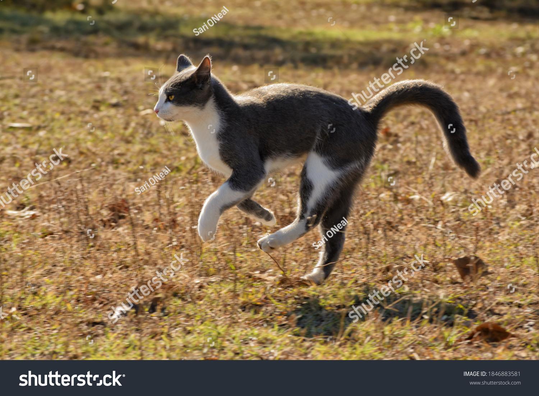 stock-photo-blue-and-white-tuxedo-cat-ru