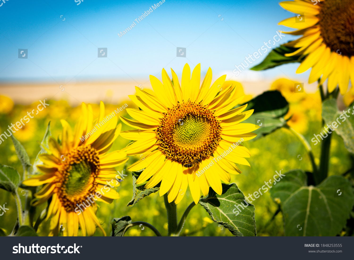 A bee feeds on a sunflower