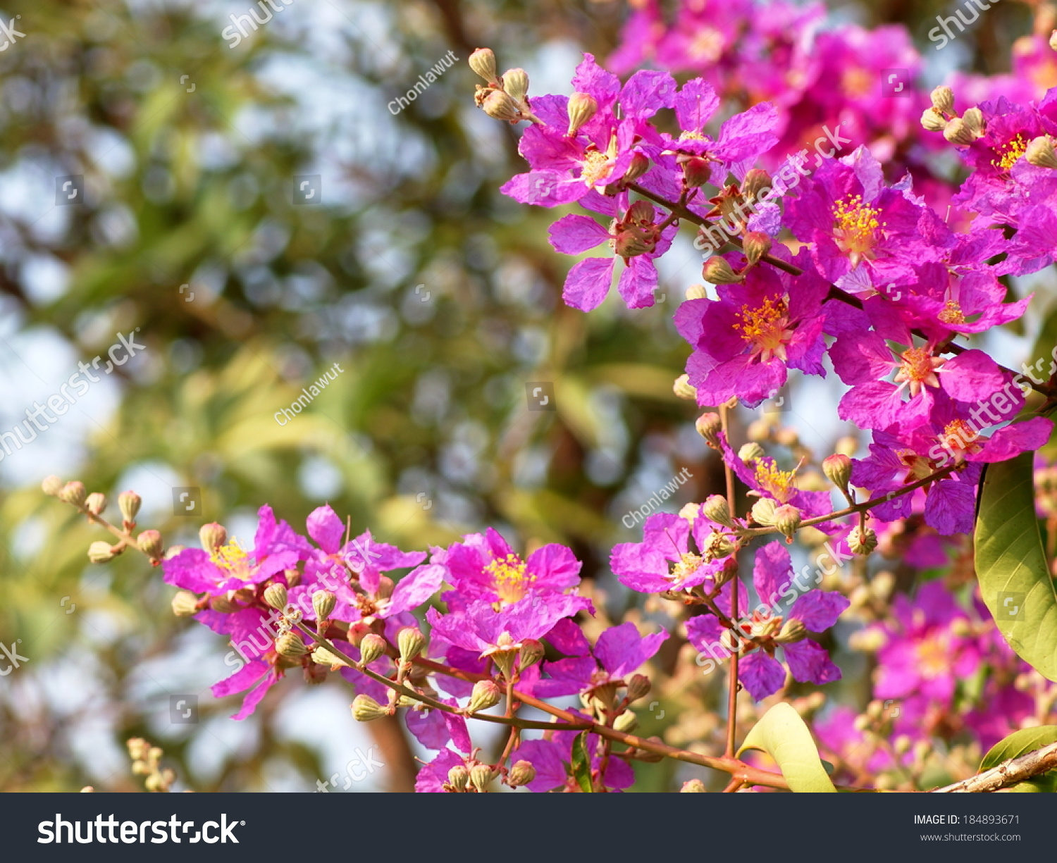 Inthanin Queens Flower Pride India Lagerstroemia Stock Photo Edit