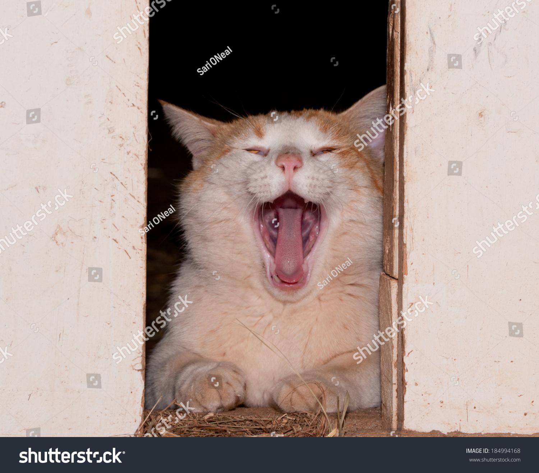 stock-photo-white-and-ginger-tomcat-yawn