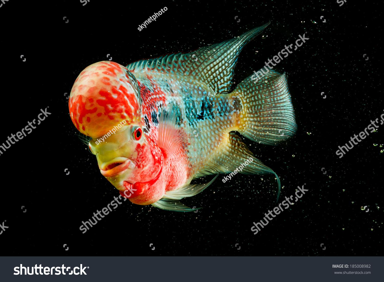 Flowerhorn Cichlid Fish Black Background Stock Shutterstock