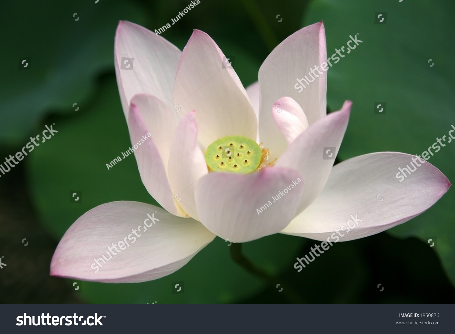 Open lotus flower stock photo edit now 1850876 shutterstock open lotus flower izmirmasajfo