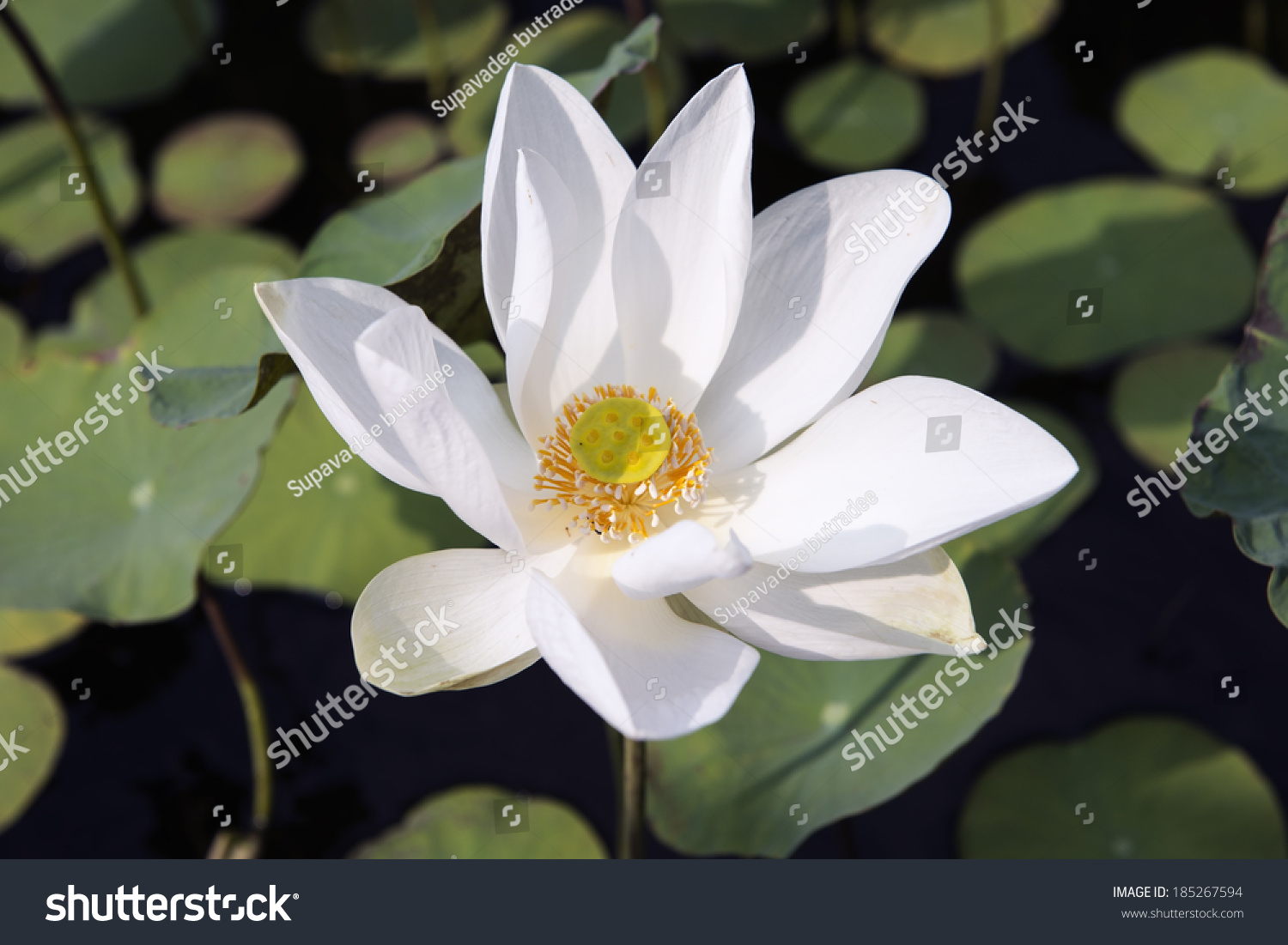 White blooming lotus flower blossom in exotic botanical garden ez id 185267594 izmirmasajfo