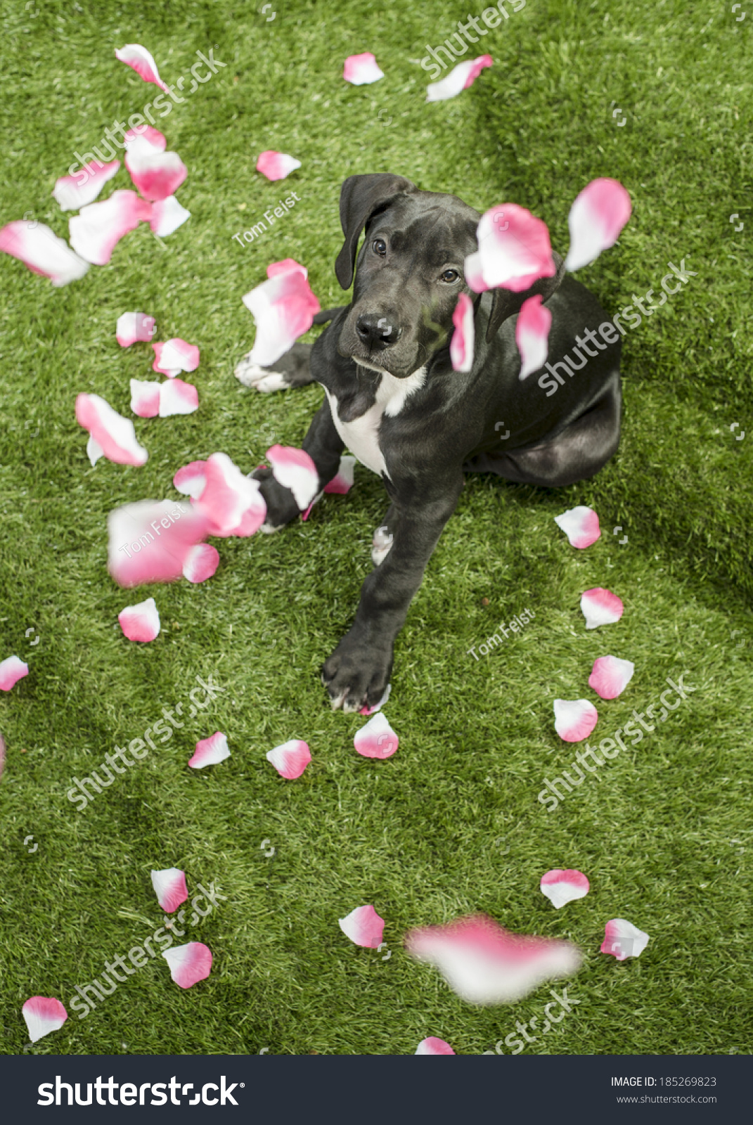 Baby Great Dane Puppy Dog Sits Stock Photo Edit Now 185269823