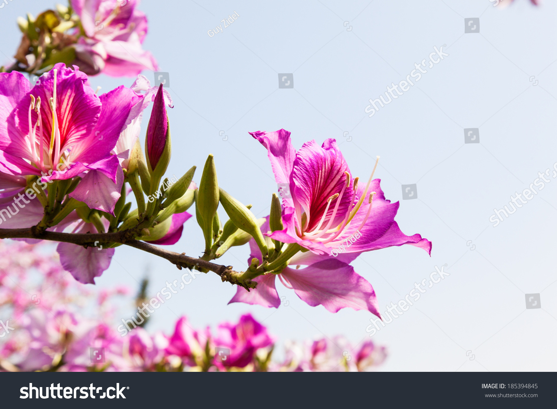 Close On Purple Flowers Magnolia Tree Stock Photo Edit Now