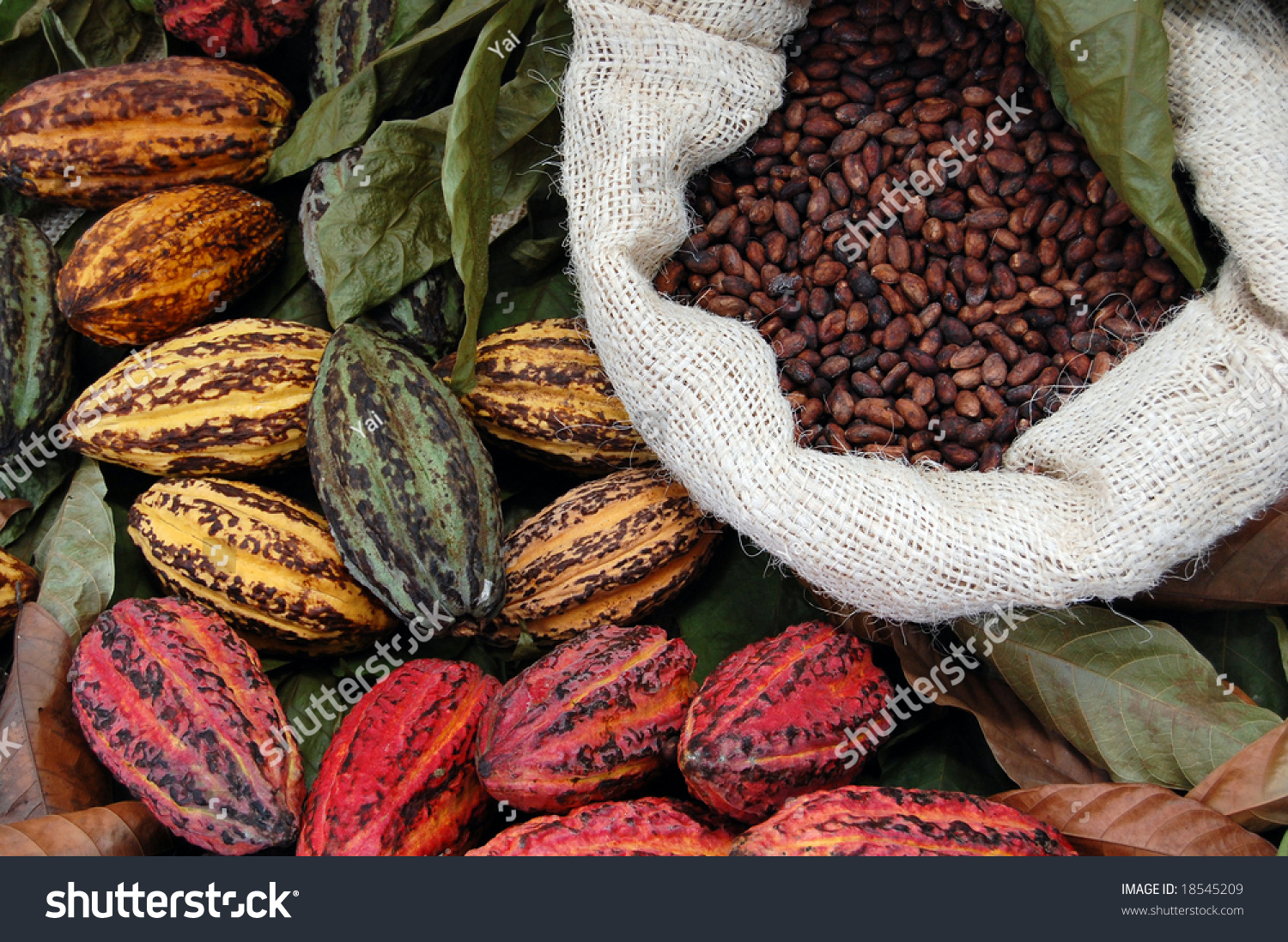 There Are Three Main Cultivar Groups Of Cacao Beans Used To Make Cocoa And Chocolate. Criollo, The Cocoa Bean Used By The Maya. The Forastero And ...1500 x 1098 jpeg 960kB
