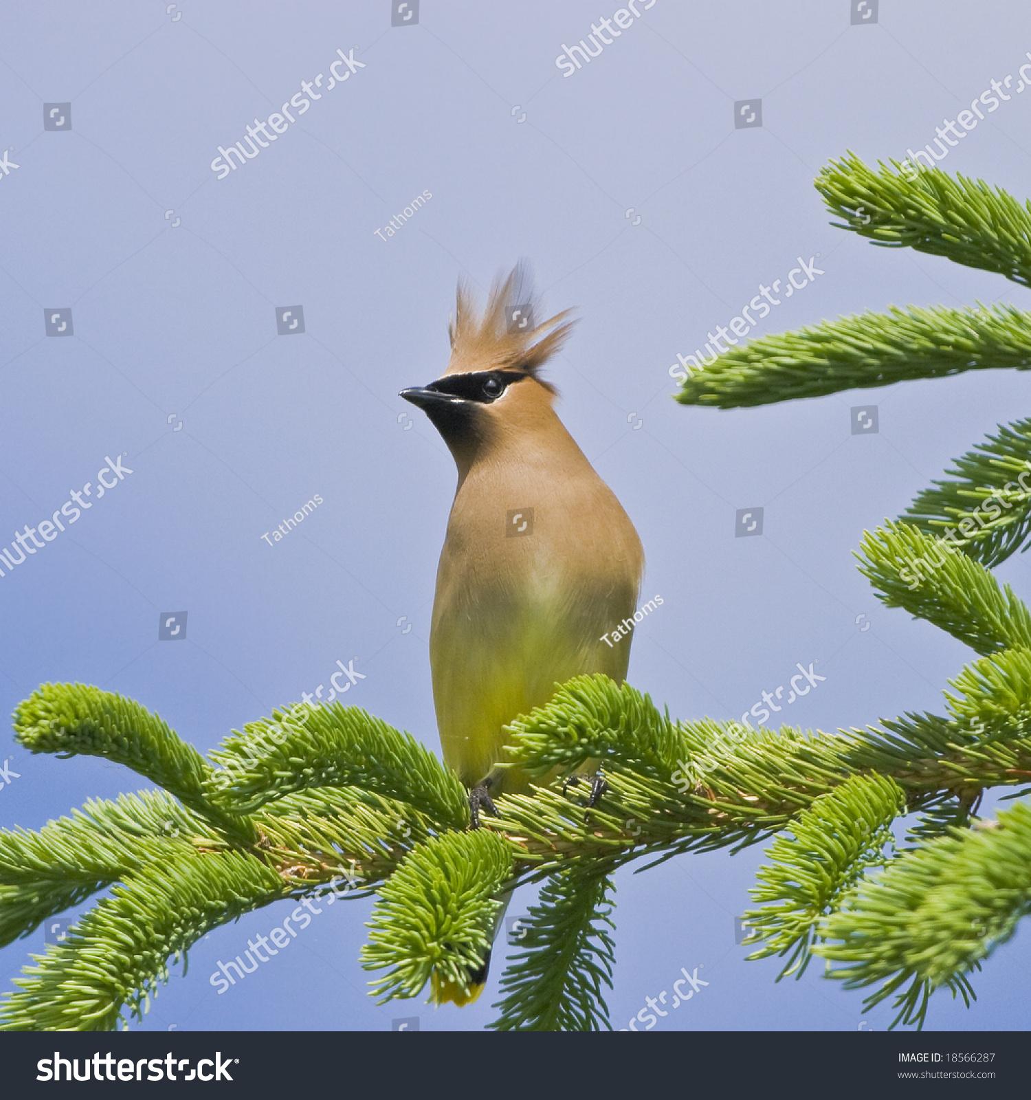 Cedar Waxwing, latin name - Bombycilla cedrorum