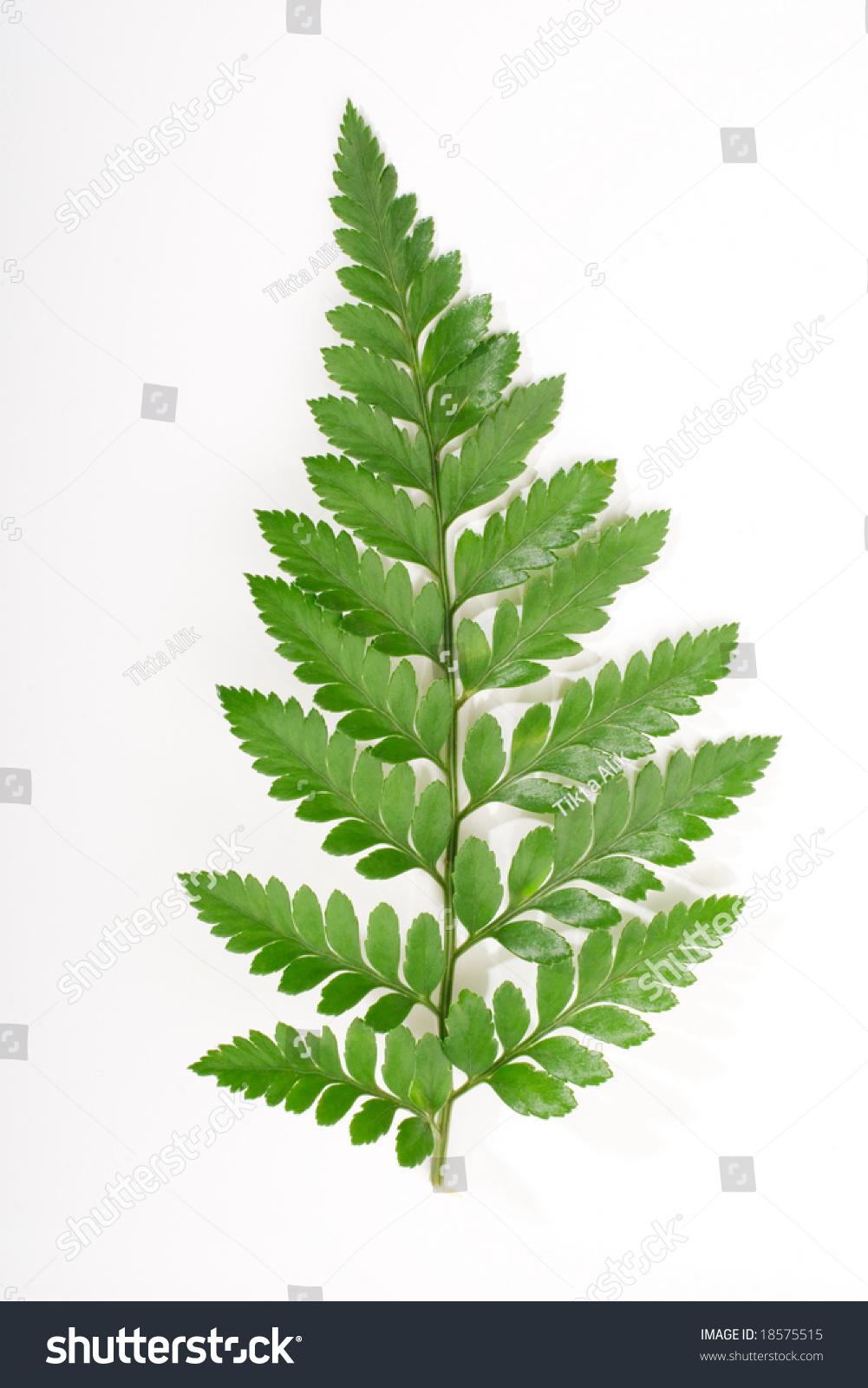 Single Fern Leaf Isolated On White Stock Photo 18575515 ...