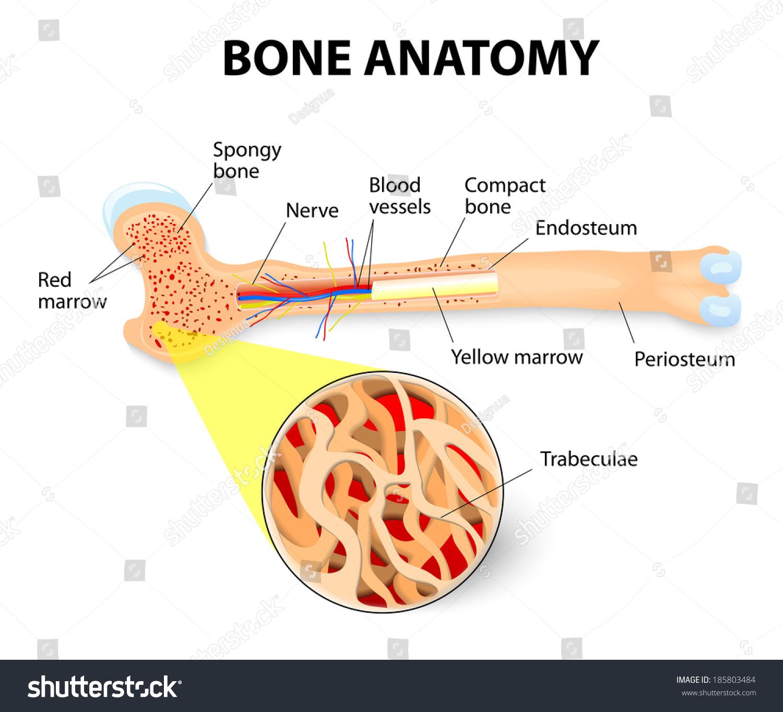Anatomy Long Bone Periosteum Endosteum Bone Stock Vector Royalty