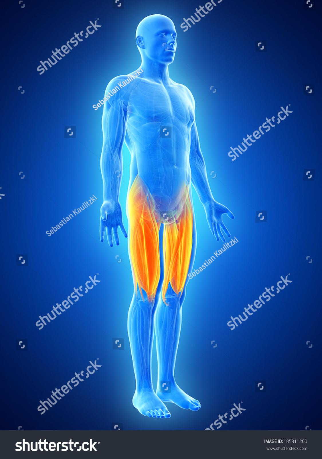 Anatomy Illustration Showing Upper Leg Muscles Stock Illustration ...