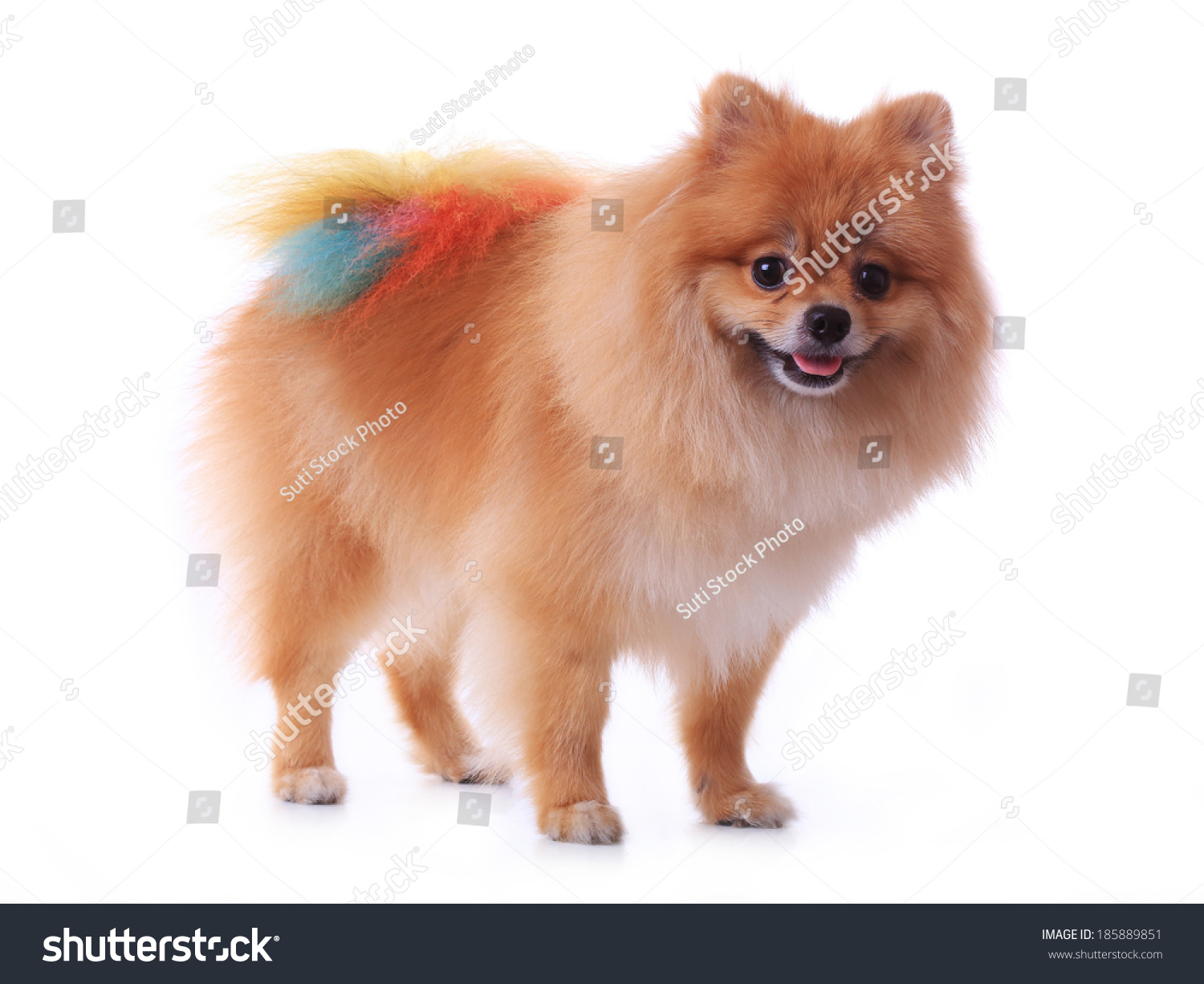 Brown Pomeranian Dog Grooming Colorful Tail Isolated On White