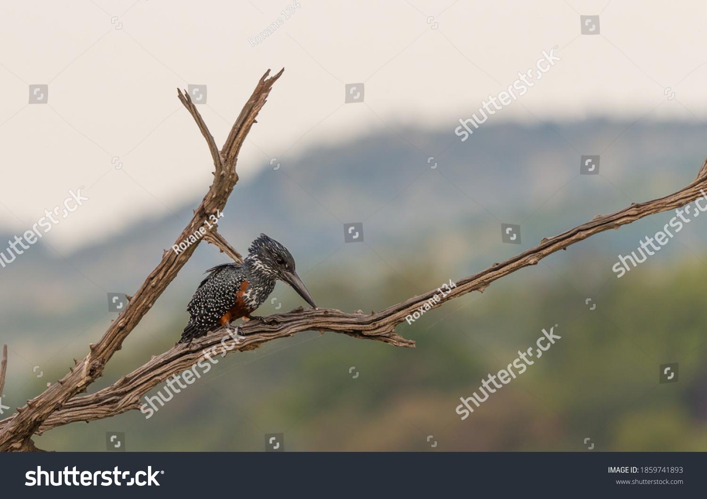 stock-photo-giant-kingfisher-megaceryle-