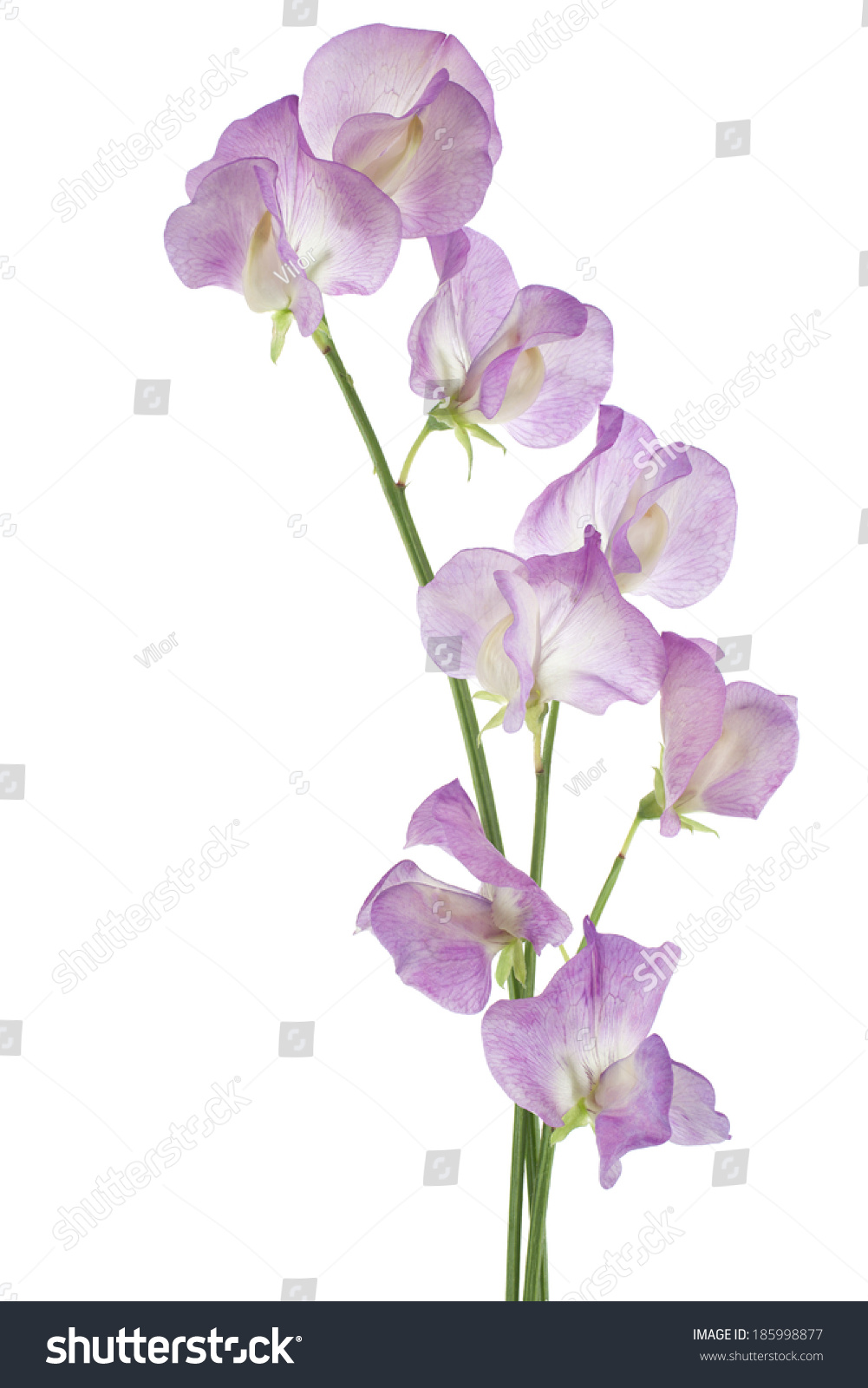 Studio Shot Of Magenta Colored Sweet Pea Flowers Isolated On White