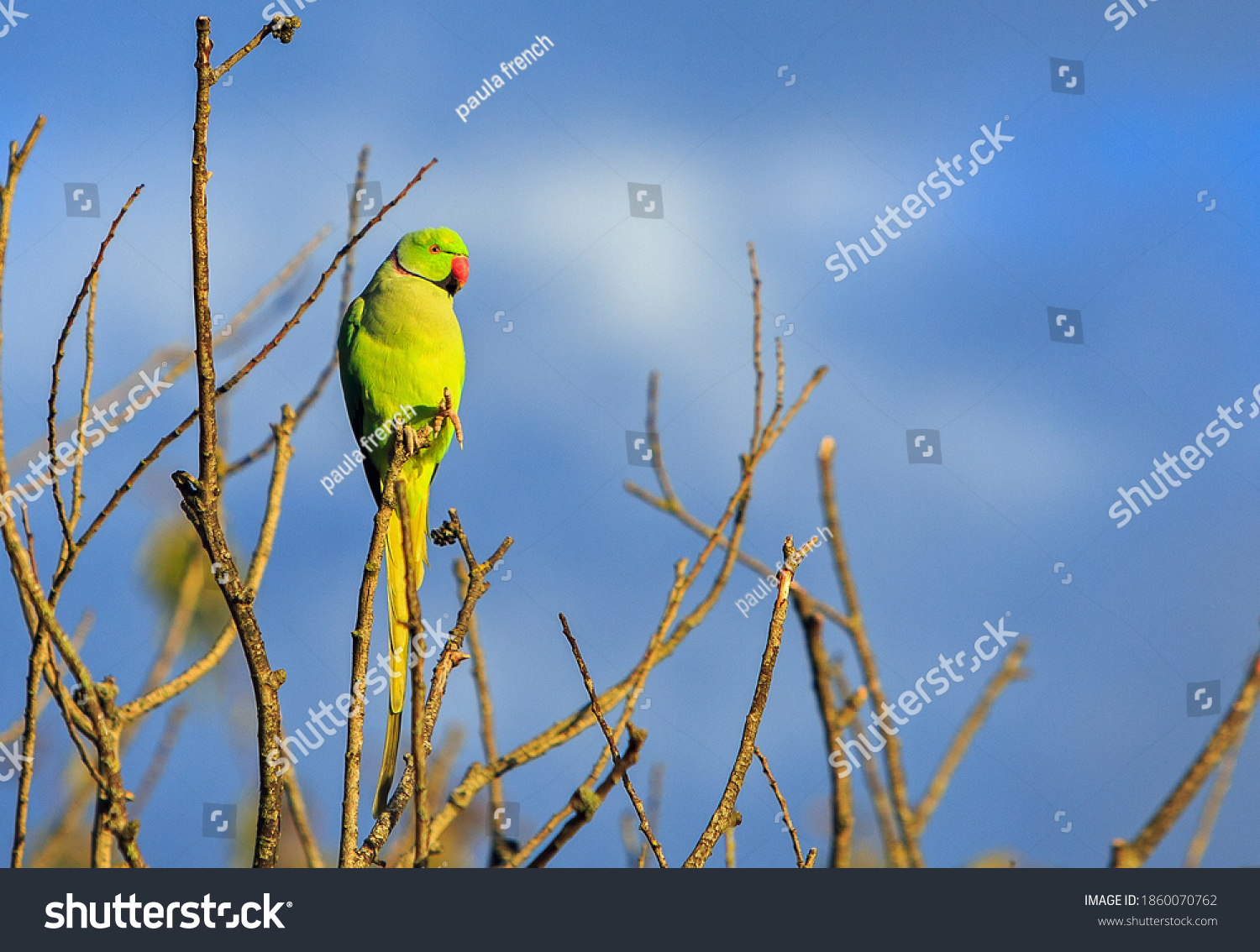 The ring-necked, or rose-ringed, parakeet is the UK's most abundant naturalised parrot, it became established in the wild in the 1970s after captive birds escaped or were released, lit by autumn sun