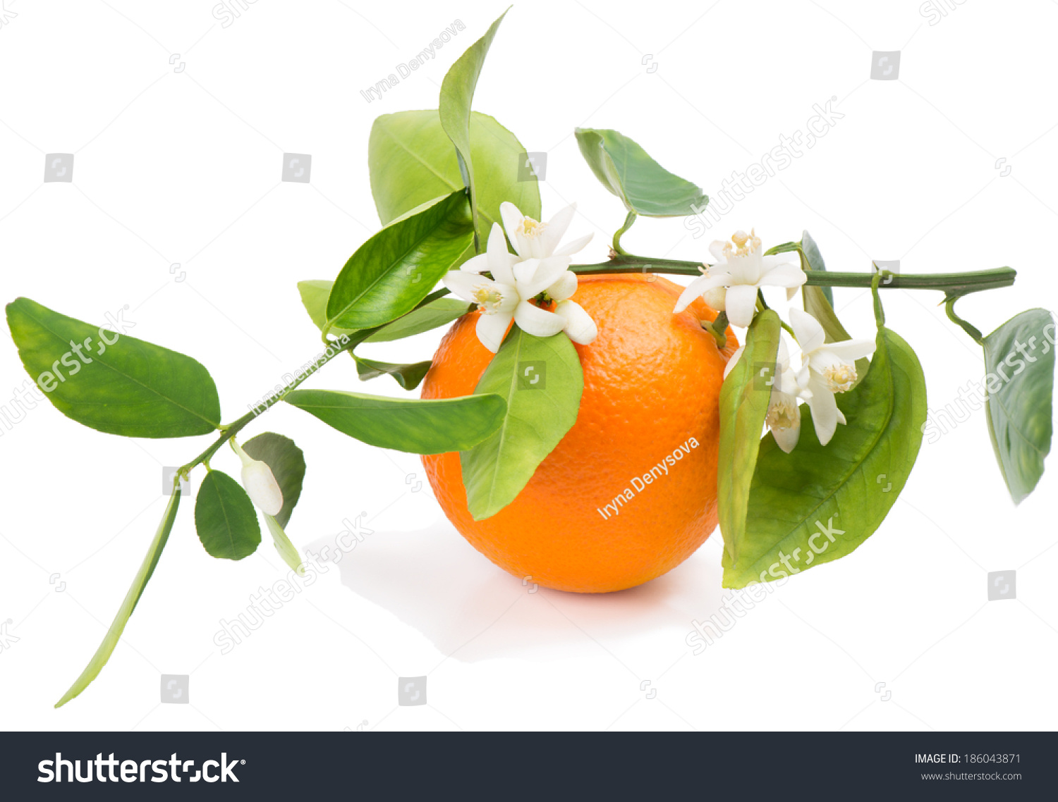 Orange fruit on a branch with leaves and blossom isolated on a white ...
