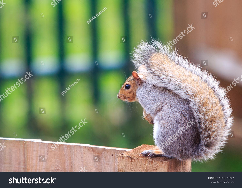 stock-photo-common-grey-squirrel-sitting