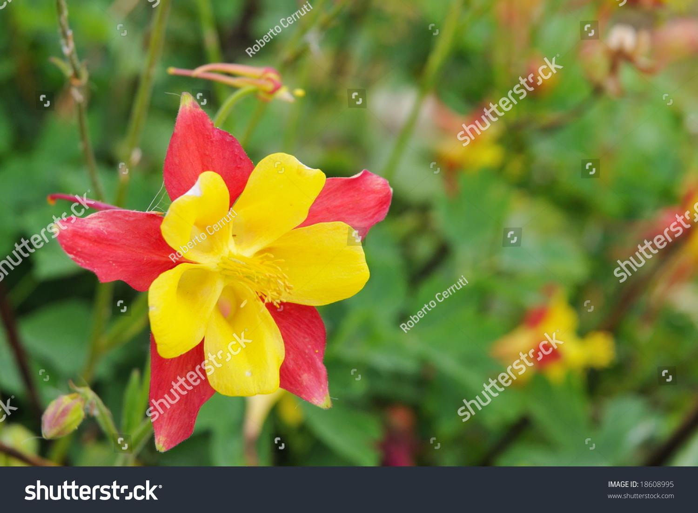 Western Columbine Flower Images Flower Wallpaper Hd