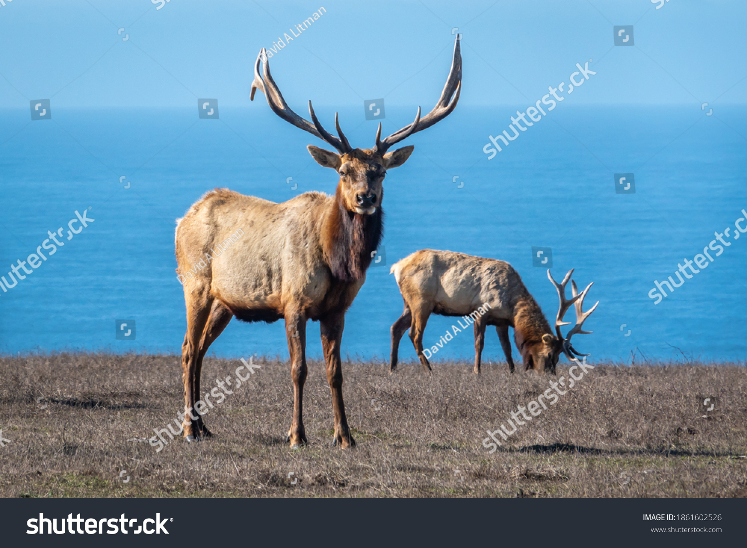 Two male Tule Elk (Cervus canadensis nannodes) bulls graze the grassy hillsides of Point Reyes National Seashore preserve, near Drake's Beach, in Marin County, California, with view of Pacific Ocean.