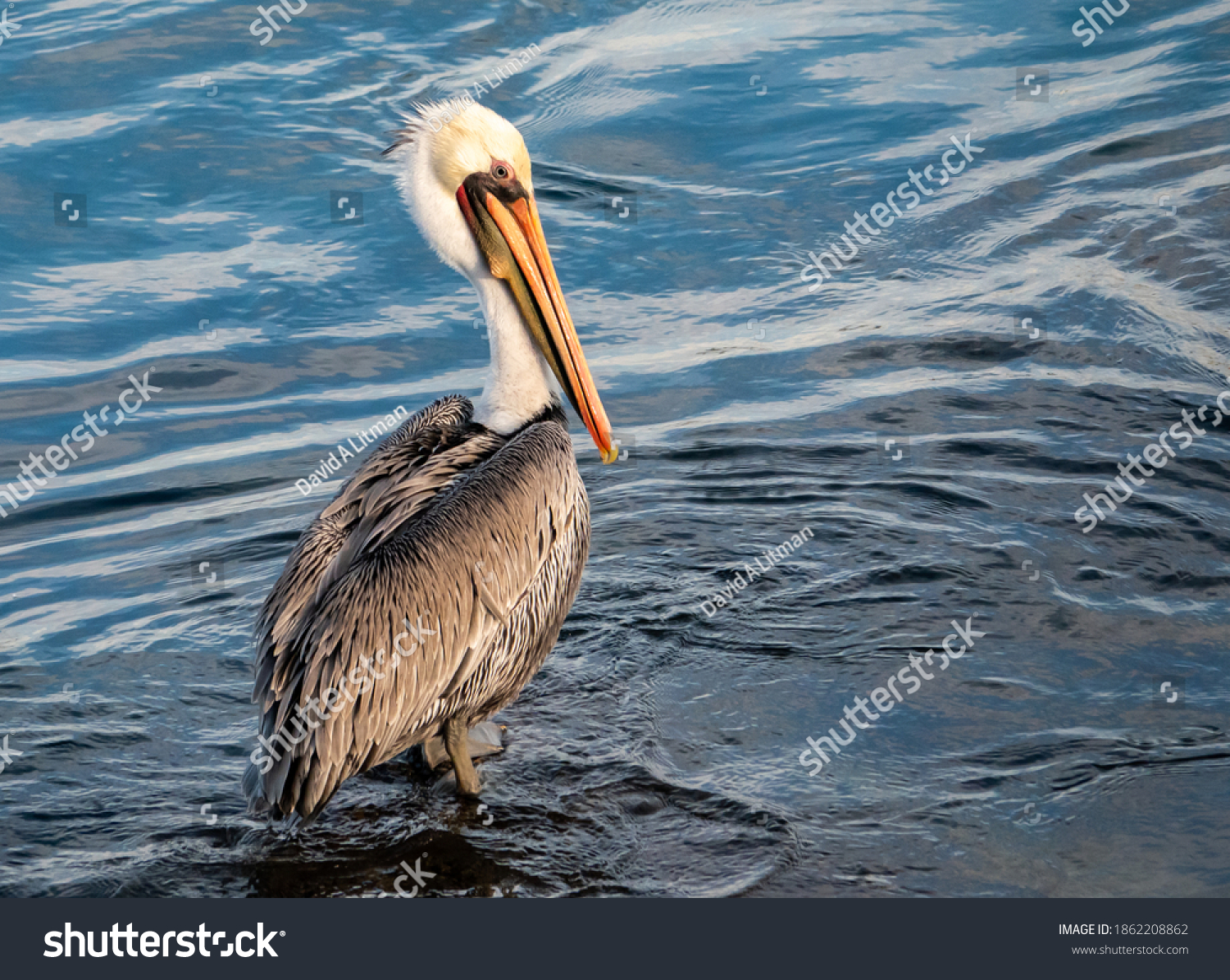 A California (Pacific) Brown Pelican (Pelecanus occidentalis) wades in shallow water of the Monterey Harbor and Marina, along the central coast of California.