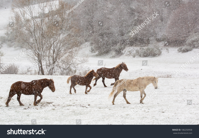 Wild Horses Running Snow Stock Photo Edit Now 186250958