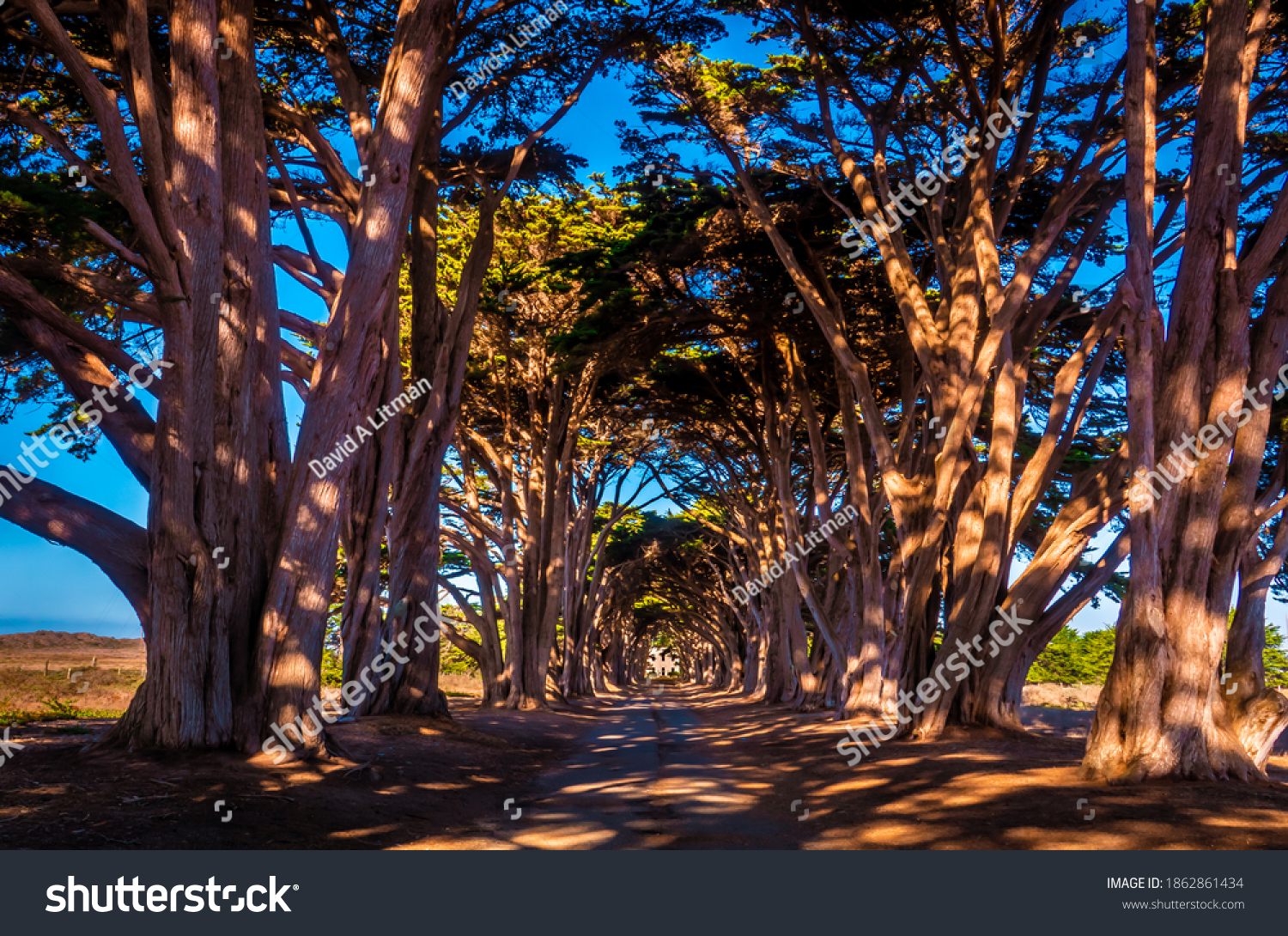 The Monterey Cypress tree tunnel, at the Point Reyes National Seashore, was planted around 1930.