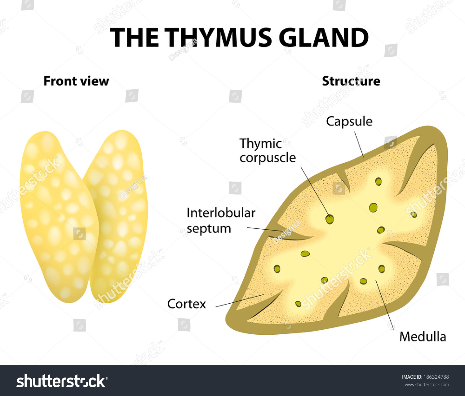 Stock Vector Thymus Structure Vector Diagram Gland Lies In The Thoracic Cavity Just Above The Heart It