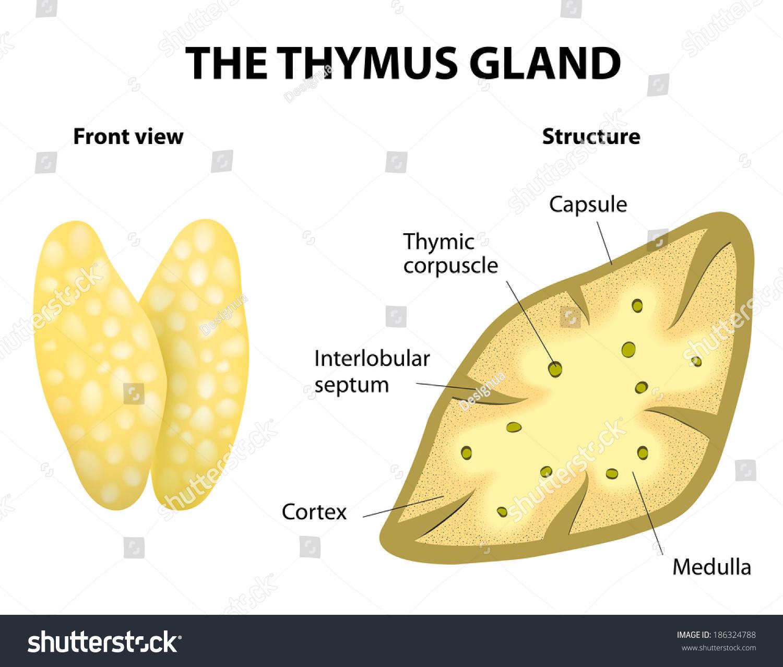 Simple Diagram Of Thymus Gland Custom Wiring Diagram