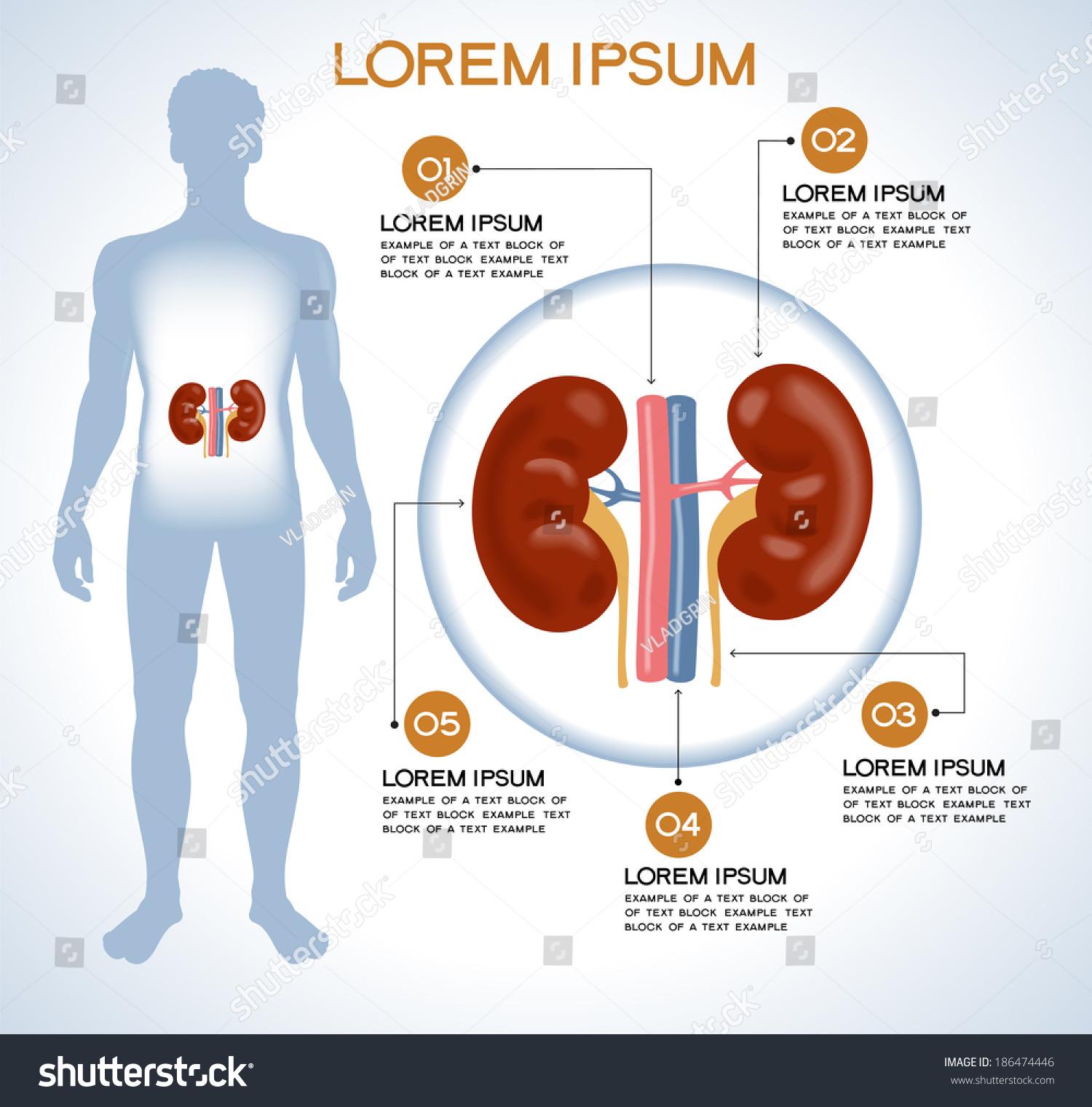 Kidneys Modern Medical Infographics Internal Organs Stock Vector