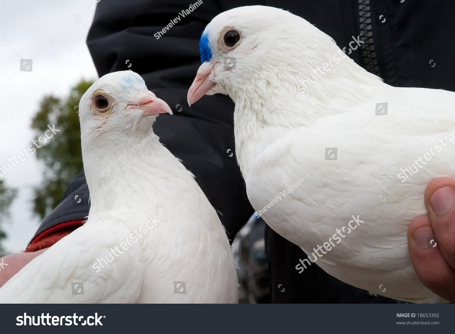 Wedding white pigeons hands meaning symbol stock photo 18653392 wedding white pigeons in the hands meaning a symbol of two loving hearts and pure biocorpaavc