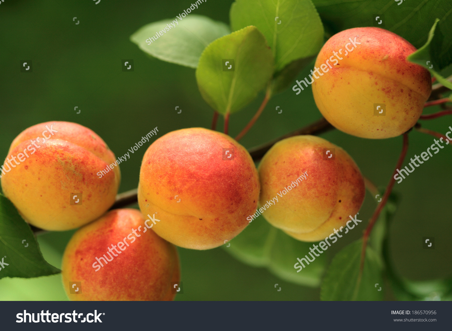 how to grow an apricot tree from a cutting