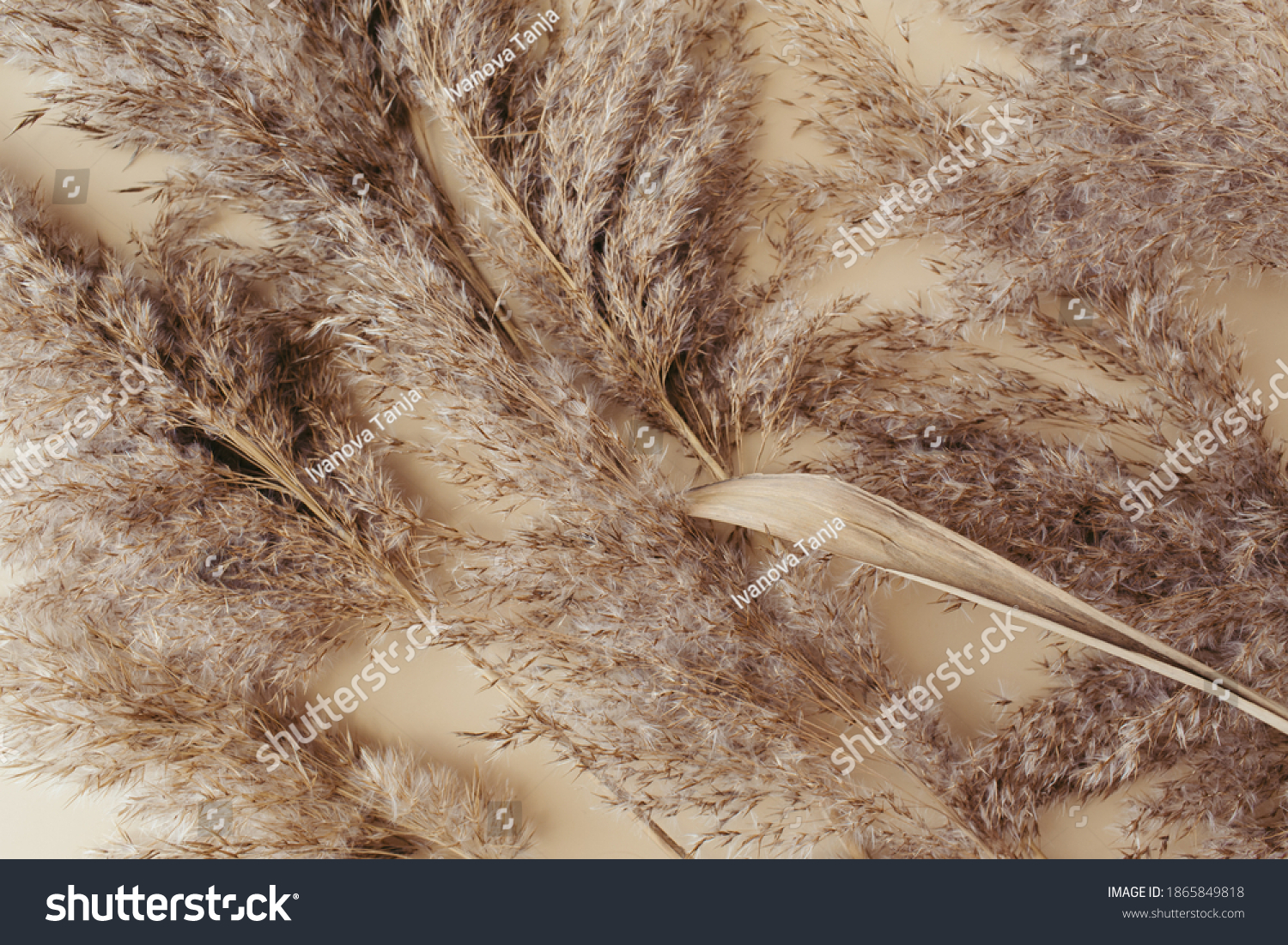 Dry pampas grass reeds agains on beige background. Beautiful pattern with neutral colors. Minimal, stylish, monochrome concept. Flat lay, top view, copy space. Set sail champagne trend color 2021 #1865849818