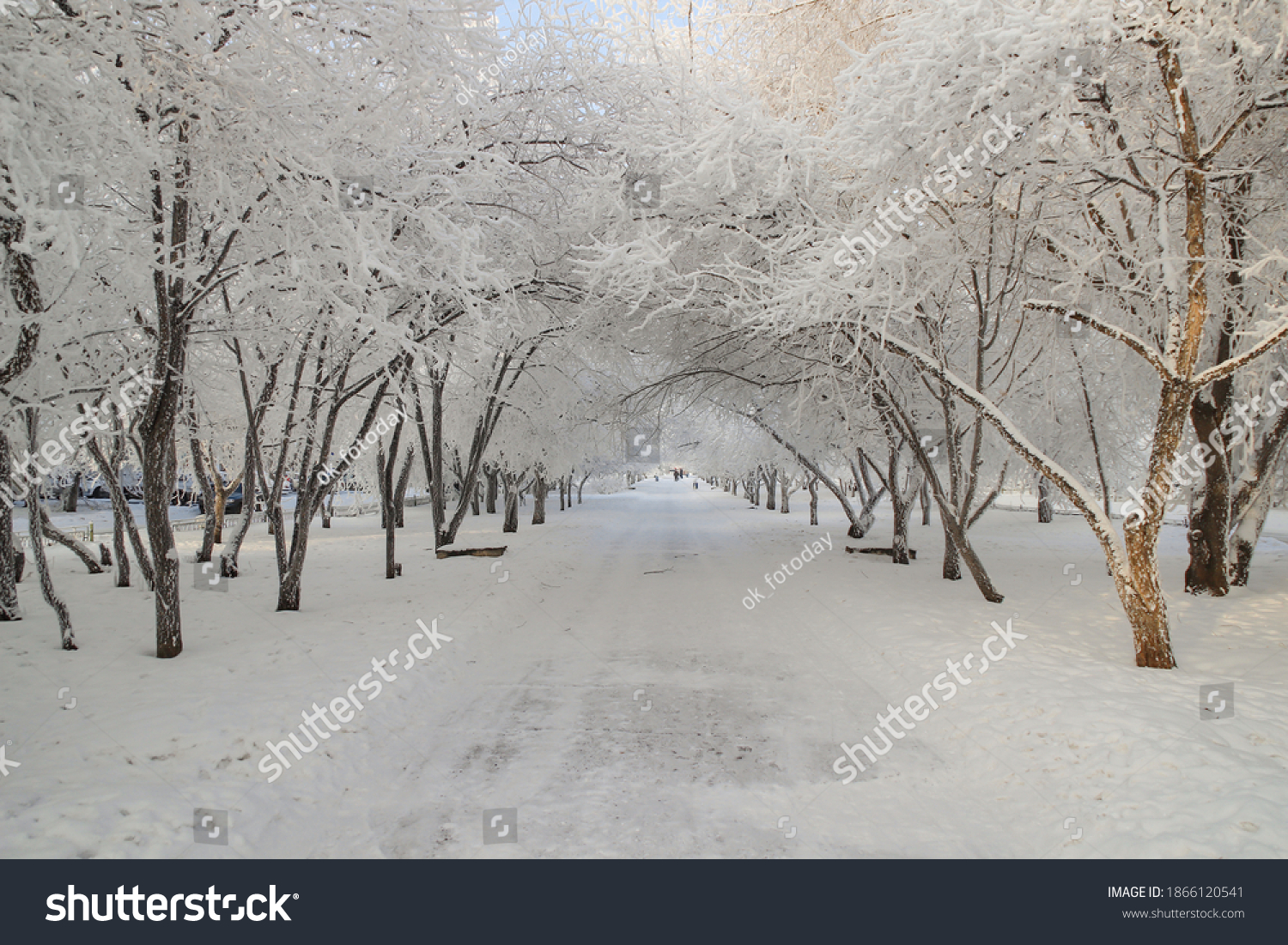 Winter plot: White trees densely covered with hoarfrost, bending branches with an arch above the alley